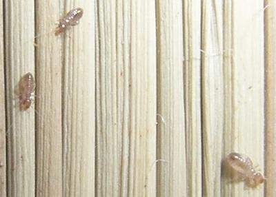 チャタテムシ チャタテムシ駆除 茶立虫 茶立虫駆除 茶柱虫 茶柱虫駆除